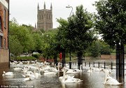 Swans of the somerset floods