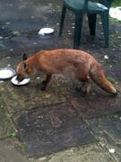 Fox drinking milk