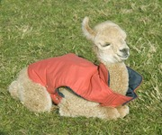 Exhausted Cria