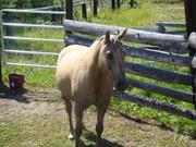 Morgan Horse lovers unite!