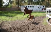 Arabian Horse Lovers