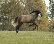 Pura Raza Espanola * Pure Spanish Horses * Andalusians