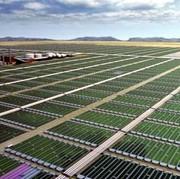 cultivo de algas para biocombustible