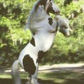 Cushti Bok-  Gypsy vanner horse