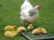 Poultry in Urbania