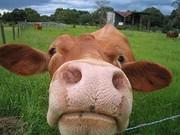 Raw Organic Milk