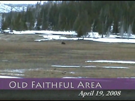 Grizzly Bears &  Bison Calf - First Yellowstone Roads Open
