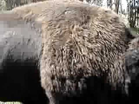 Bisons don't like to be patted