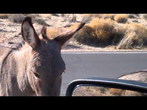 Wild Burros Attack Me & My Girlfriends In Las Vegas