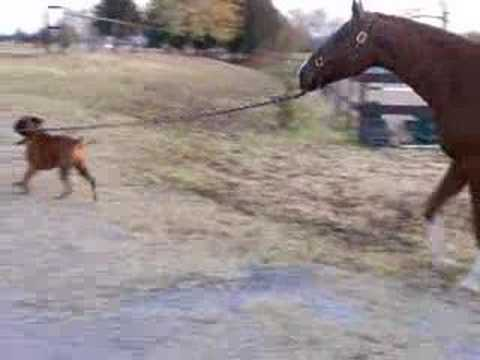 Dog stealing the Horse