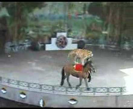 Yes, Tigers Do Ride Horses