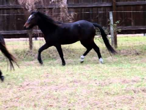 Galiceno Stallions Monty, Rain and Maverick, Vidoe 4