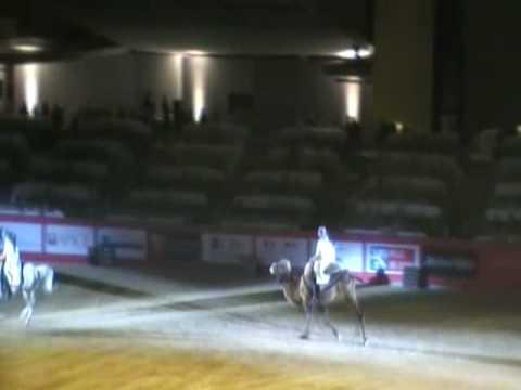 Camel & Arabian Dressage Pas de Deux