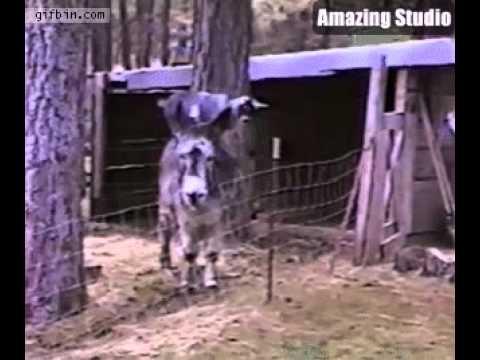 Goat Uses Donkey To Jump Over Fence