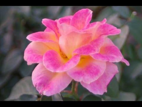 2016 Autumn Roses at Nakanoshima Rose Garden