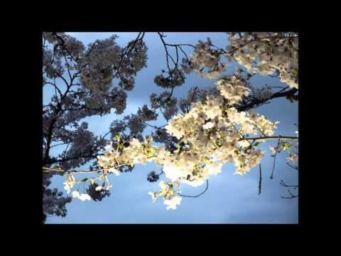 Cherry blossoms at night(Expo '70 Commemorative Park in Osaka, Japan)