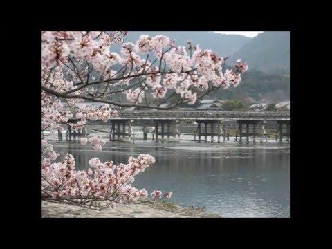 Cherry Blossoms in Arashiyama
