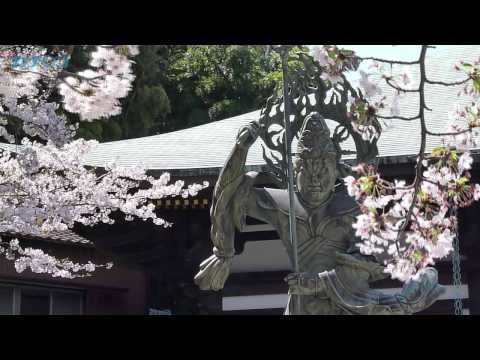 Cherry Blossoms in Kamakura on 12APR2011