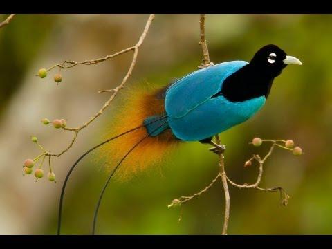 The Astoundingly Beautiful Birds-of-Paradise