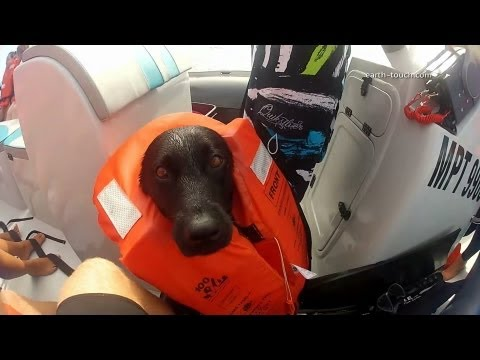 Dog Swims With Dolphins