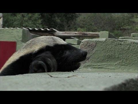 Surprisingly Clever Honey Badger!