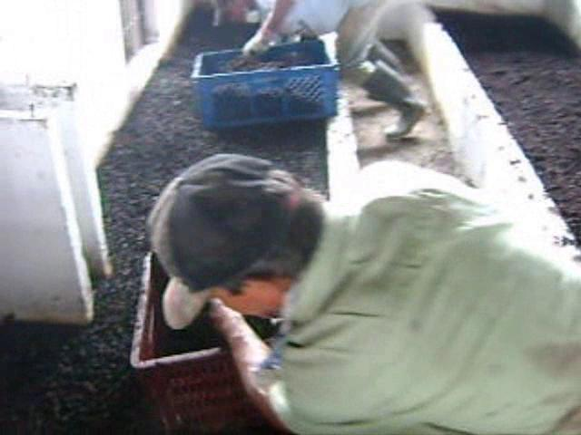 Video 3 extracción y siembra de lombriz Lombricol.com
