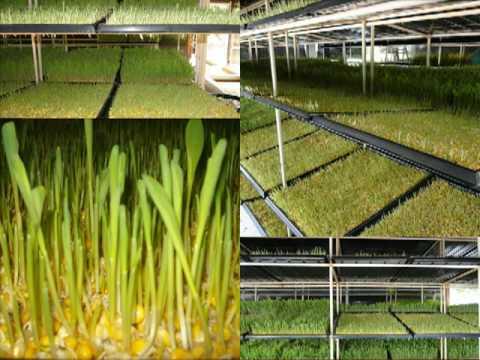 Forraje Verde Hidropónico (FVH) www.nutriforraje.com
