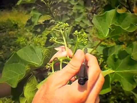 P1010001.AVI biología floral Jatropha curcas L. Mejoramiento Genético
