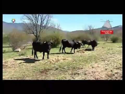 El ganado vacuno en Guadarrama