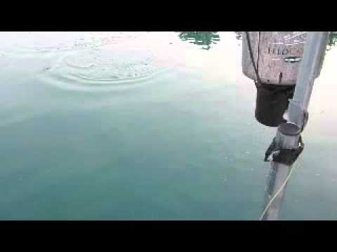 Tabbert fish feeding time April 2016