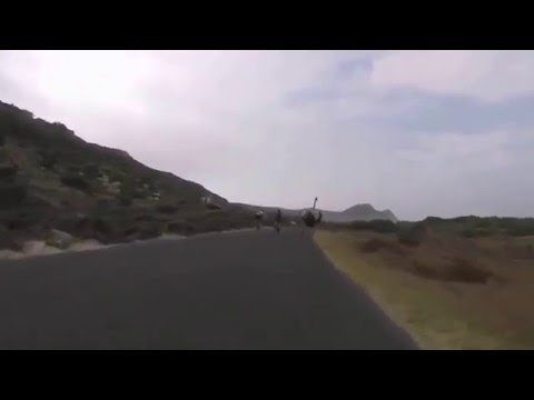 Avestruz persigue a ciclistas en Sudáfrica!!