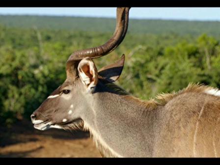 Antelope 6