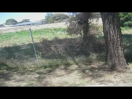 KOALA IN MY TREE