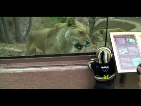 """Lioness tries to eat baby at the zoo. """"Tastes like Chikin.."""""""