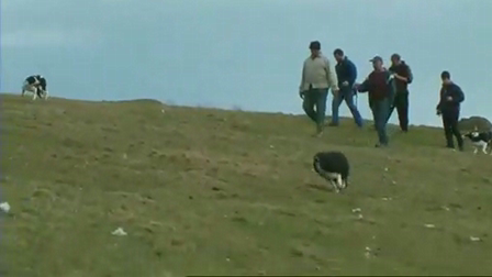 Extreme Sheep Herding