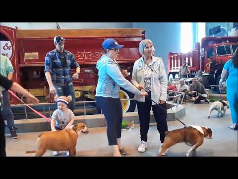 2018 Bull Dog Beauty Contest at the America On Wheels Museum Long Version