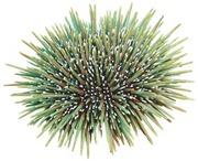 C.Urchin