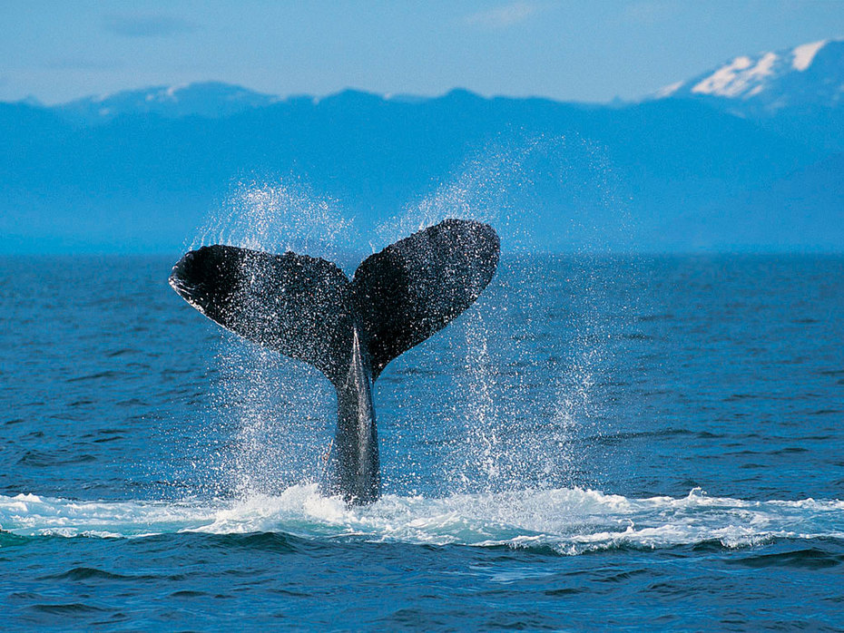 CTFO WORLD ANIMALS Humpback Whale PHOTO