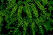 Ferns, 4-26-19