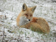 DSCN1821-fox lying down