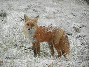DSCN1802-fox in snow