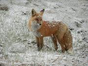 DSCN1805-fox in snow
