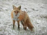 DSCN1812-fox in snow