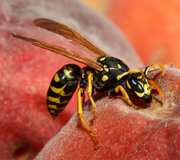 2012_08_18-08_58_08-4480-Alek-Komarnitsky-peach-wasp-closeup