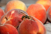 2012_08_18-08_58_08-4480-Alek-Komarnitsky-peach-wasp