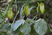 Tennessee Trillium (T. Tennesseense)