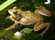 FREE PACT Wildlife Walk: frogs with London Wildlife Trust