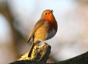 Friends of Alexandra Park: Bird Walk and ringing demonstration