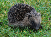 Hedgehogs in Muswell Hill