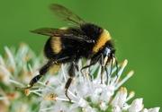 Bee ID walk at Railway Fields
